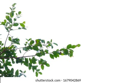 Tropical tree leaves with branches on white isolated background for green foliage backdrop and copy space