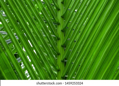 Tropical trees background,Bali, Indonesia, Thailand, Tropical Climate, Tropical Pattern,Palm Leaf,Palm Leaf Background (XXXL),Palm Leaf, Plant, Palm Tree, Tropical Climate, Full Frame