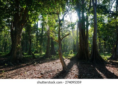 Tropical trees in forest, Caribbean side of Costa Rica, natural scene, Puerto Viejo de Talamanca