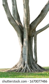 Tropical trees grow well in Thailand. The trunk is large, the roots are wide spread, the roots have beautiful complex patterns, cut and change the background to white, ready to use.