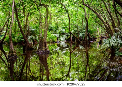 Tropical vegetation in a swamp (Punta Cana, Dominican Republic).