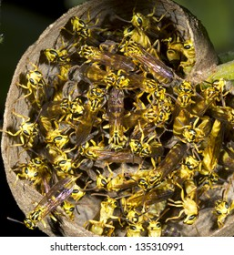 Tropical wasp nest viewed from below. In the rainforest understory, Ecuador