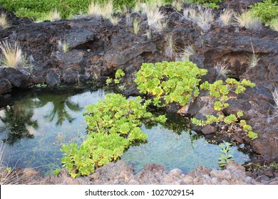 Tropical water plants, Water hyssop, and grasses growing in and on a pond formed from volcanic rock, in Hawaii, USA
