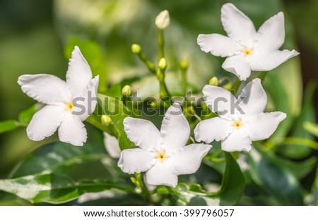 Tropical White Flower Sampaguita Jasmine Natural Stock Photo Edit