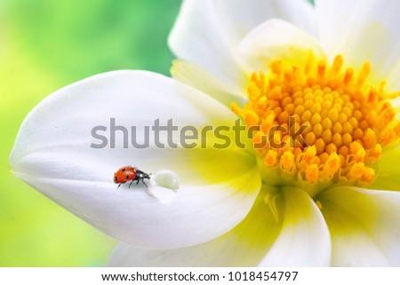 Tropical white flower yellow stamens ladybug stock photo edit now tropical white flower with yellow stamens ladybug and transparent drop of water on a green mightylinksfo