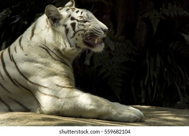 Tropical white tiger alert while prone black background outdoor natural sunlight black background space for words