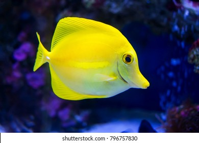 A tropical yellow surgeon fish swimming in a fishtank. Horizontal close-up