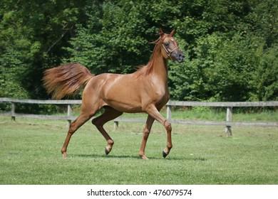 Trotting chestnut arabian horse.