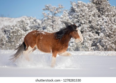 Trotting Clydesdale Horse