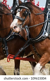 Trotting Clydesdale horses