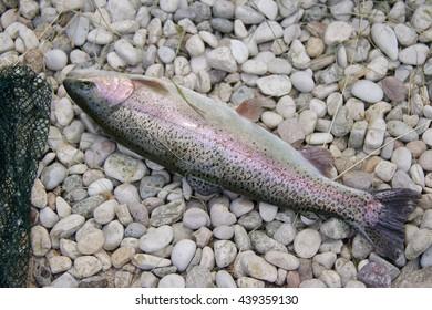 trout dead