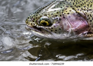 trout fish close up portrait