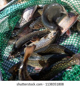 Trout at a fish farm in France, Europe