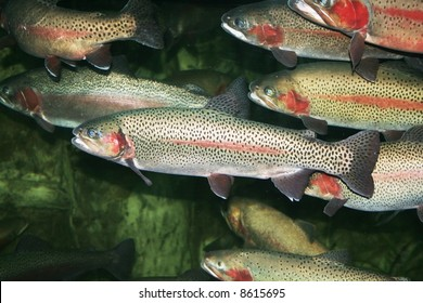 Trout fish in group