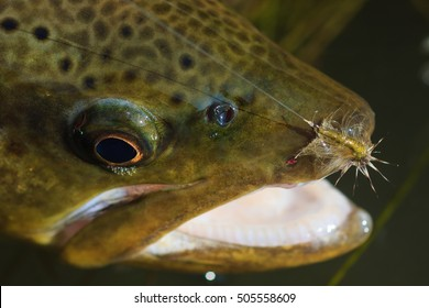 Trout With A Fly