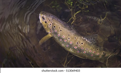 trout hooked under water.