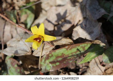 Trout Lily Flowers