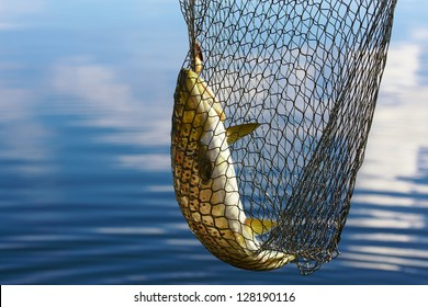 Trout in scoopnet, fishing from boat on lake Inari in Lapland (Finland).