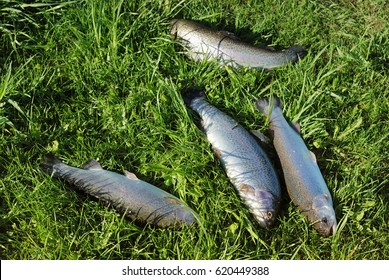 Trouts caught and laying on the grass