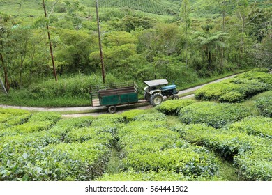a truck delivers the tea leaves to the processing factory