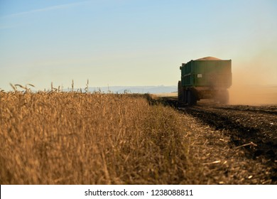 Truck in the fields, transports grain crops wheat cereal in farm. Agriculture machine harvesting crop in fields. ripening ears of wheat field on the background of the sett. Rich harvest Concept
