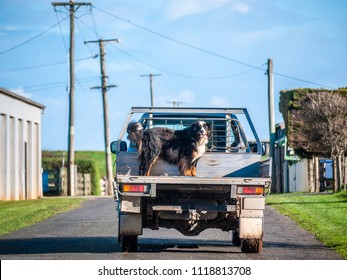 Truck on rural road carrying a big dog at back. Cute Bernese Mountain Dog standing on an ute in countryside. Stanley, TAS Australia.