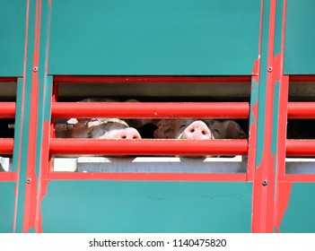 Truck and trailer transporting pigs from farm to slaughterhouse during a hot day in Germany.