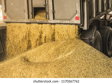 A truck unloads grain at a grain storage and processing plant, a grain storage facility, unloading seed, works