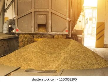 A truck unloads grain at a grain storage and processing plant, a grain storage facility, unloading corn, the sun