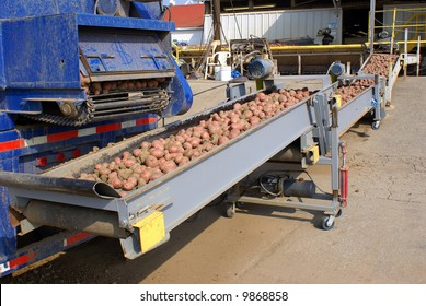 Trucks unload their load of potatoes onto a conveyor belt at a packing facility