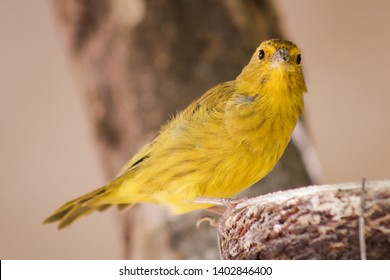 The true canary or canary of the earth, (scientific name: Sicalis flaveola L.), canary-da-horta, canary-canary, canary-chapinha, is a species of bird of the family Emberizidae.