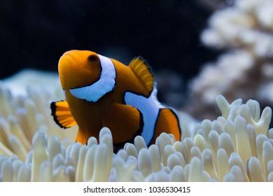 true clownfish in anemone