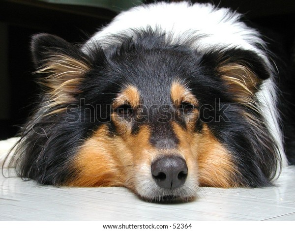 True eyes of a tri-color-collie