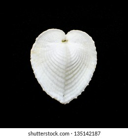 True heart cockle or Coculum cardissa seashell isolated on black background