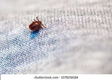 A true ixodid mite blood sucking parasite carrying the acarid disease sits on a person's clothing