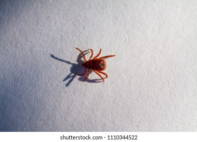 A true ixodid mite blood sucking parasite carrying the acarid disease sits on a white sheet of paper