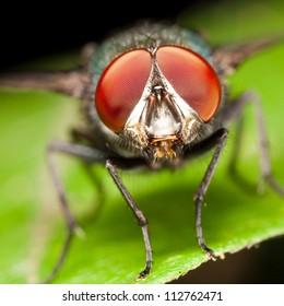 True macro fly portrait