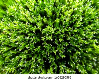 True moss (Bryopsida) with dew drops ×10 macro image from above