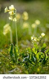 True oxlip (Primula elatior) with soft, soap bubble bokeh.