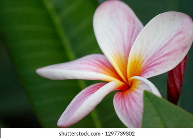 True Tiare flower from mauricious