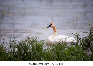 A trumeter swan in the wild.