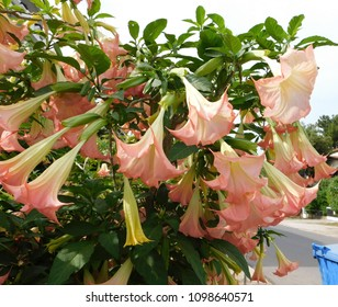 Angel's trumpet or Brugmansia flowers at springtime, in Glyfada, Greece