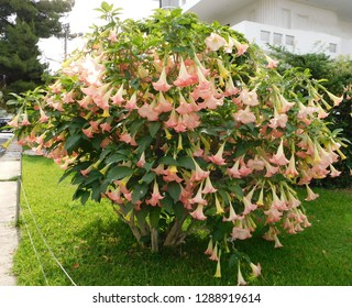Angel's trumpet or Brugmansia tree with flowers at springtime, in Glyfada, Greece