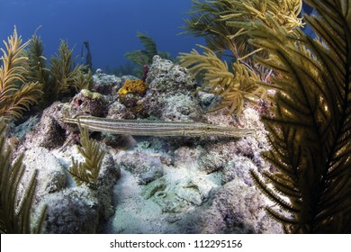 a Trumpet fish swimming amongst a coral reef in Key Largo, Florida of the florida keys with a blue water background.