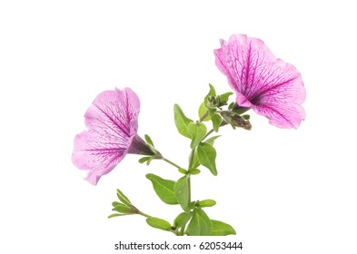 Trumpet shaped petunia flowers against white