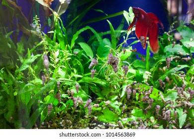 Trumpet Snails and Otocinclus catfish feeding on soft algae with Betta fish swimming  at the top of aquarium