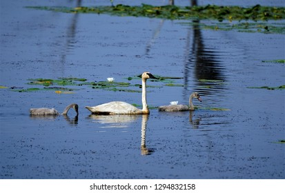 Trumpeter Swan with Cygnets in Minnesota