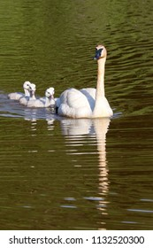 Trumpeter Swan Cygnets and Mom