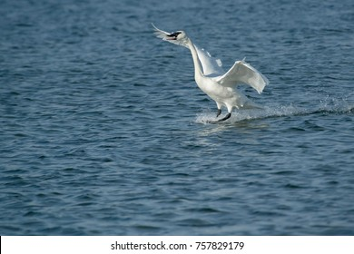 Trumpeter Swan landing in the open water loudly announcing its arrival.