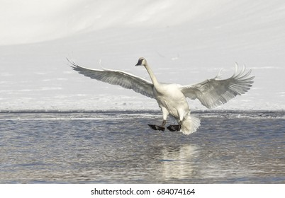 Trumpeter swan lands in pond in Jackson Hole Wyoming